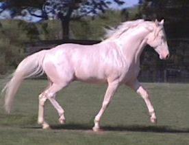 Foxtrotter in mildly collected foxtrot. Note that the back remains more level than in a collected trot, but the hip rotates and drops and hind legs should step well under.