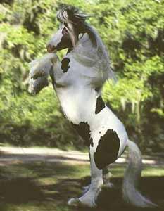 "#8103 Gypsy Vanner Horse stallion ""Kushti Bok"" rearing. © Mark J. Barrett 2001"